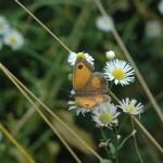 Vlinder er Bij Natuurtuinen